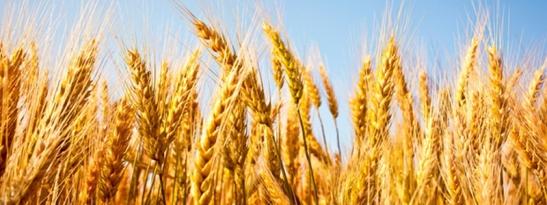 cropped-wheat.jpg
