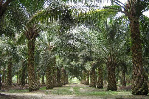 Terzo mondo, deportati per l'olio di palma.