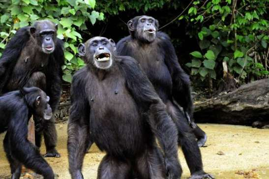 Judge Denies Claim That Chimps are Persons