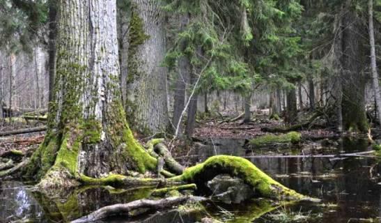 Inizia-la-deforestazione-dellultima-selva-vergine-dEuropa (1)