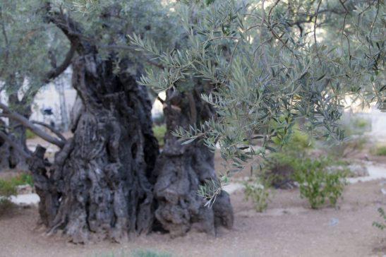 olivo del Getsemani
