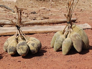 baobab frutto