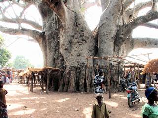 baobab gigante