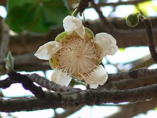 fiore baobab